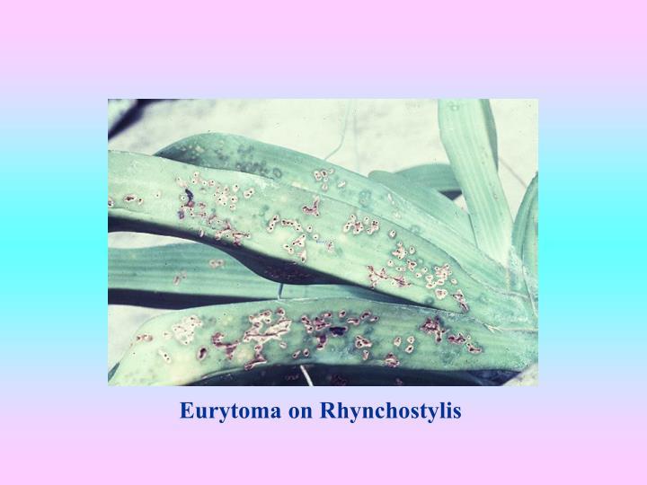 Eurytoma on Rhynchostylis