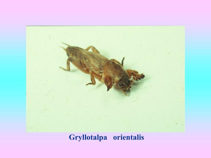 Gryllotalpa   orientalis