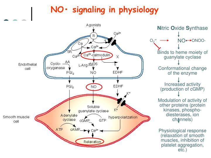 NO• signaling in physiology