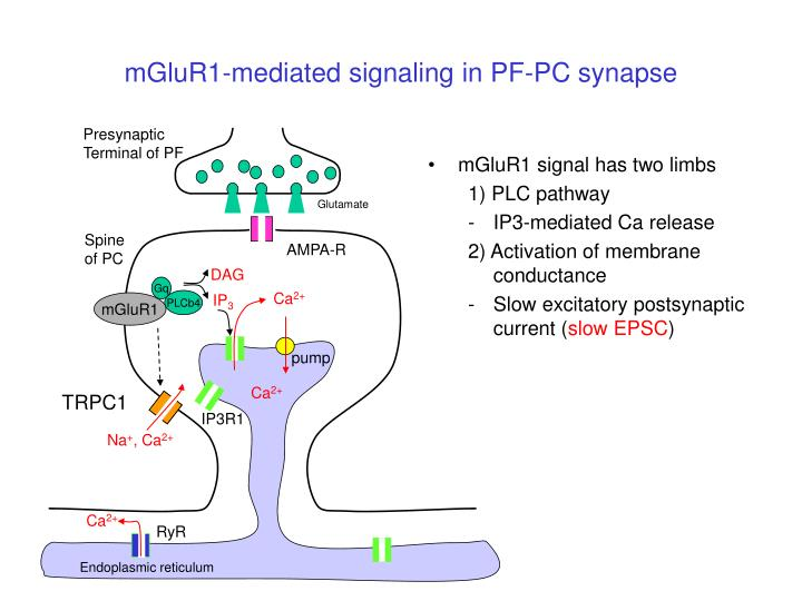 mGluR1-mediated signaling in PF-PC synapse