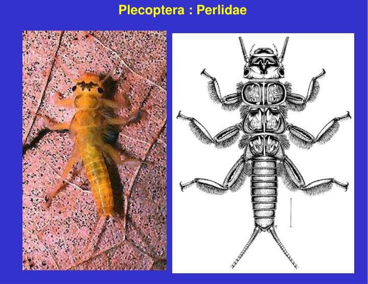 Plecoptera : Perlidae