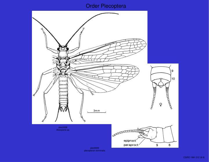 Order Plecoptera