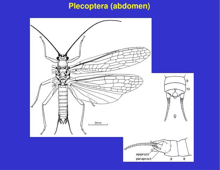 Plecoptera (abdomen)