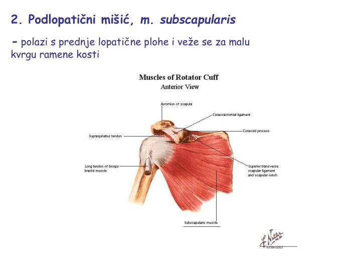 2. Podlopatični mišić,