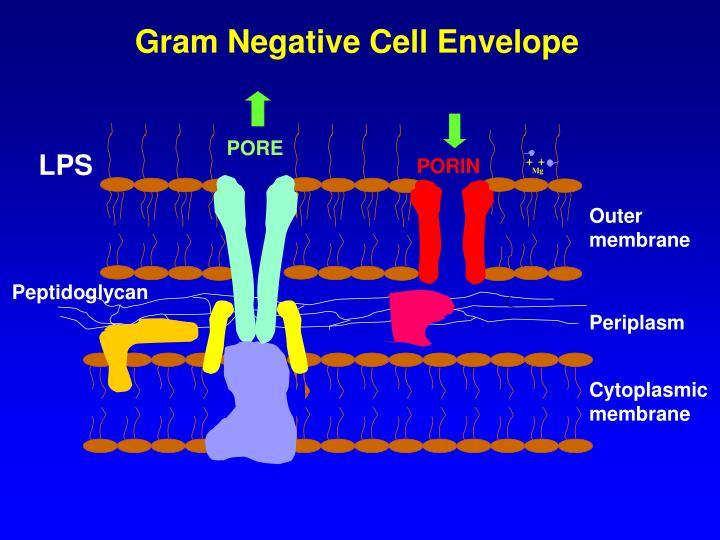 Gram Negative Cell Envelope