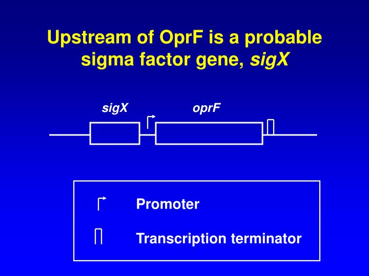 Upstream of OprF is a probable sigma factor gene,