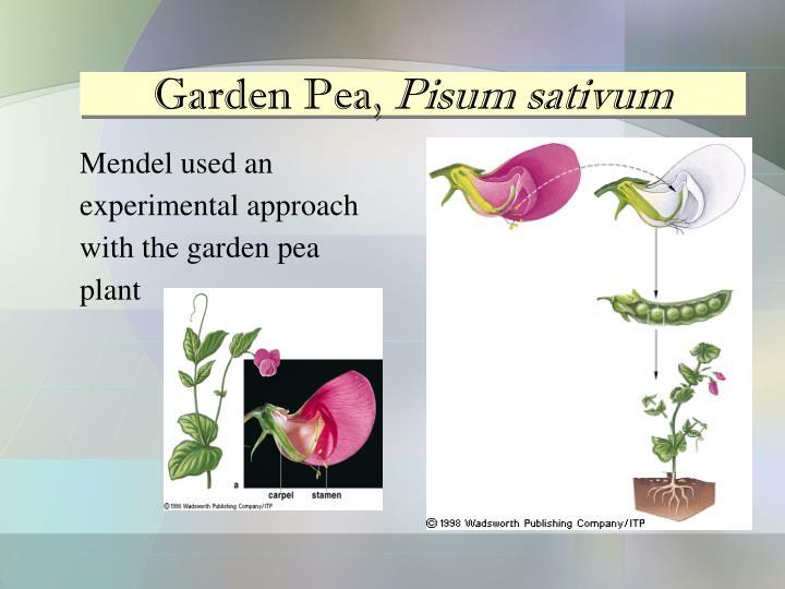 Garden Pea,