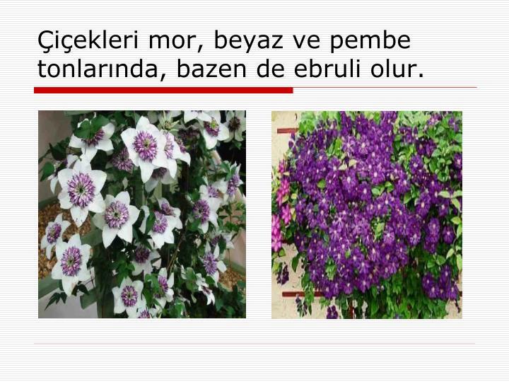 Çiçekleri mor, beyaz ve pembe tonlarında, bazen de ebruli olur.