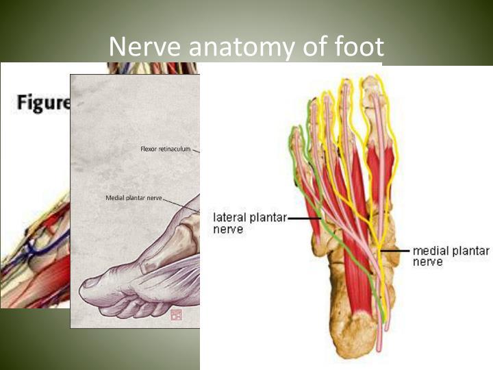 Nerve anatomy of foot