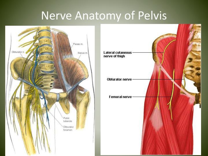 Nerve Anatomy of Pelvis