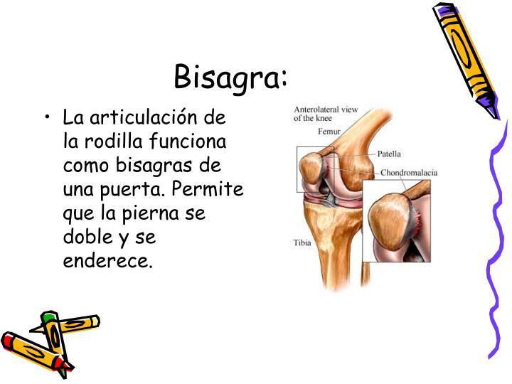 La articulación de la rodilla funciona como bisagras de una puerta. Permite que la pierna se doble y se enderece.