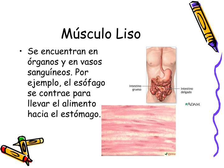 Se encuentran en órganos y en vasos sanguíneos. Por ejemplo, el esófago se contrae para llevar el alimento hacia el estómago.
