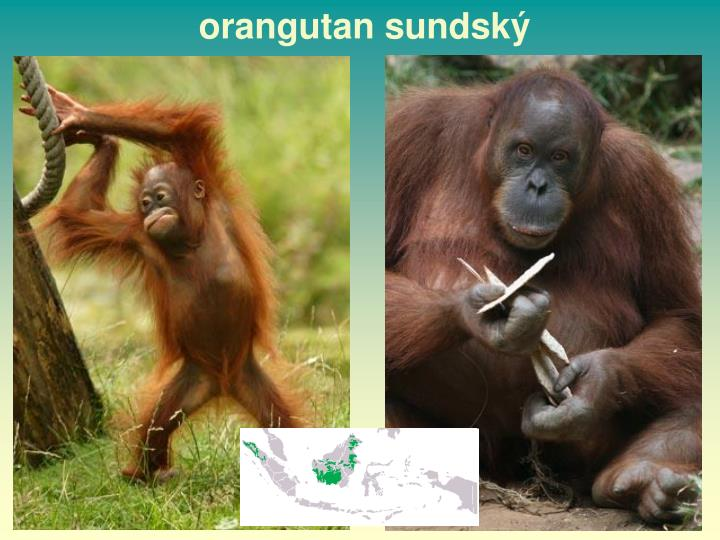 orangutan sundský