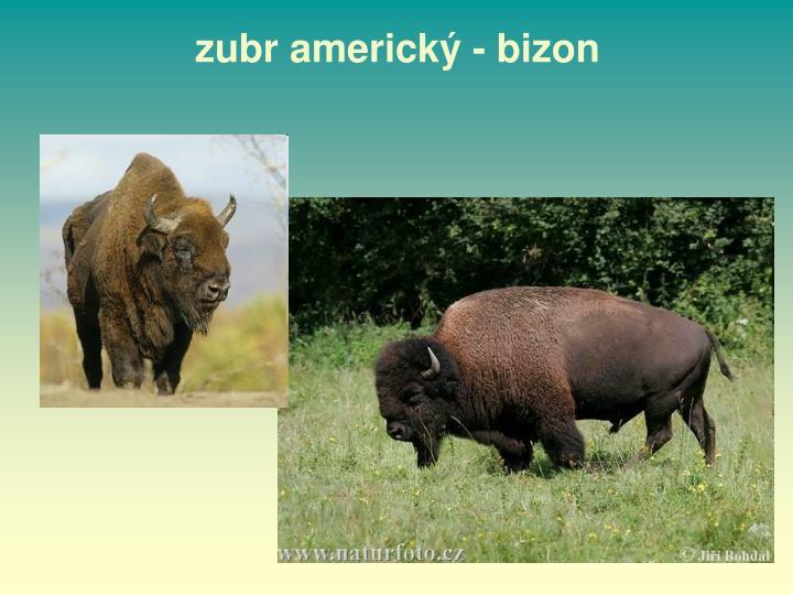 zubr americký - bizon