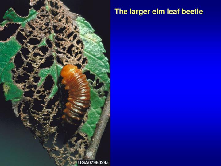 The larger elm leaf beetle