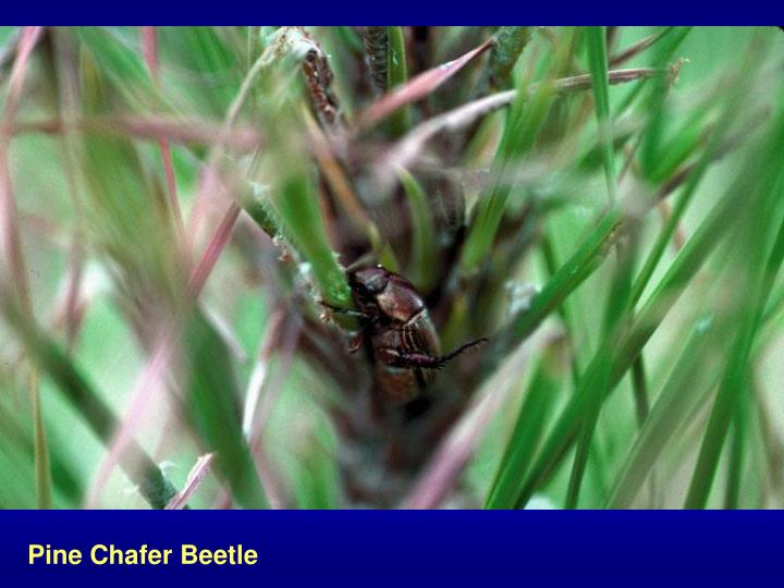 Pine Chafer Beetle