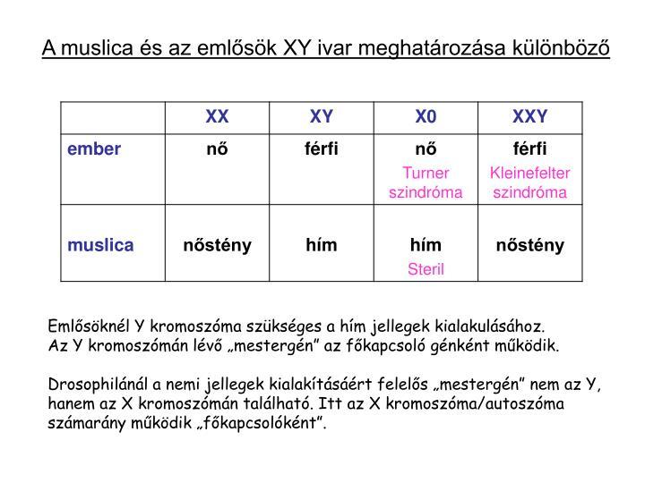 A muslica és az emlősök XY ivar meghatározása különböző