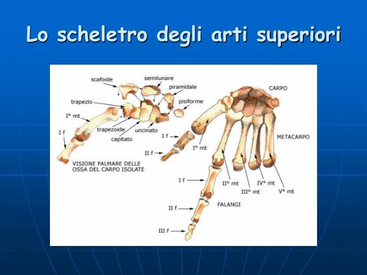 Lo scheletro degli arti superiori