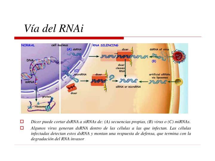 Vía del RNAi