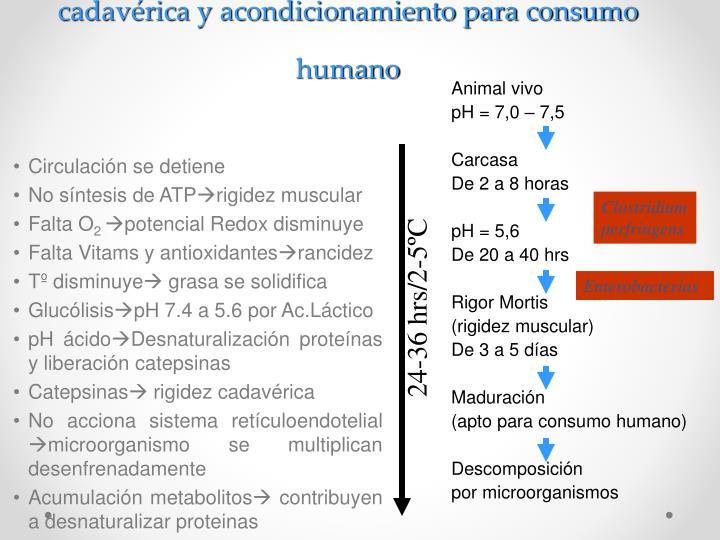 Acontecimientos bioquímicos conducentes a rigidez cadavérica y acondicionamiento para consumo humano