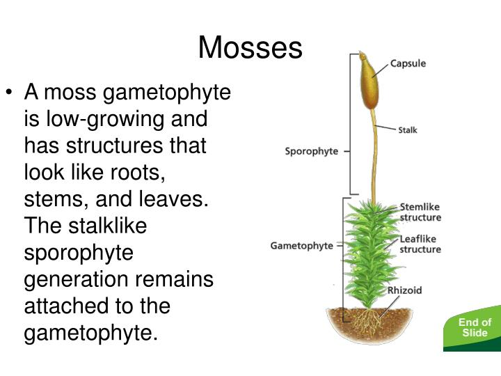 - Mosses, Liverworts, and Hornworts