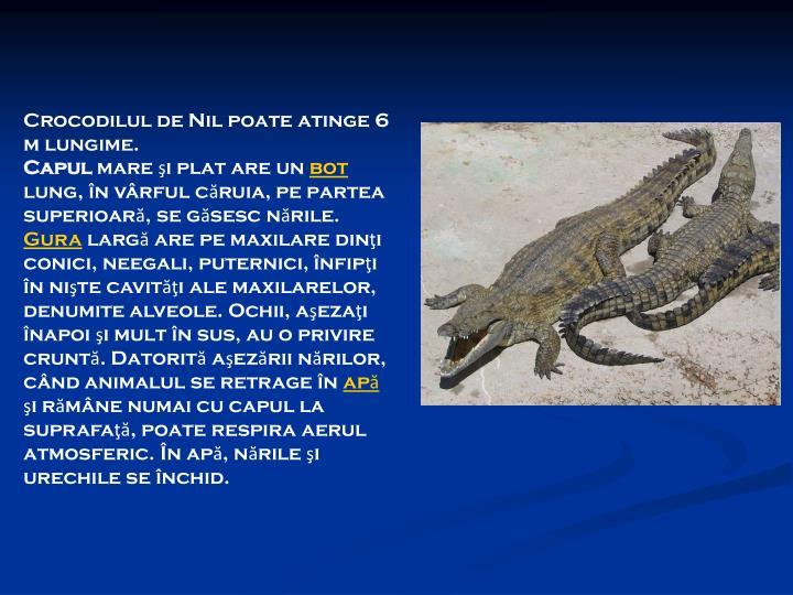 Crocodilul de Nil poate atinge 6 m lungime.