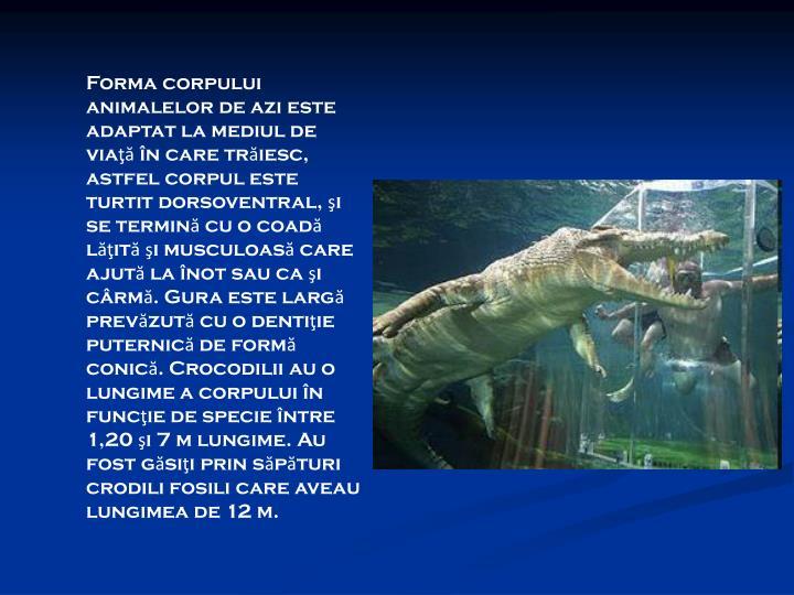 Forma corpului animalelor de azi este adaptat la mediul de viaţă în care trăiesc, astfel corpul este turtit dorsoventral, şi se termină cu o coadă lăţită şi musculoasă care ajută la înot sau ca şi cârmă. Gura este largă prevăzută cu o dentiţie puternică de formă conică. Crocodilii au o lungime a corpului în funcţie de specie între 1,20 şi 7 m lungime. Au fost găsiţi prin săpături crodili fosili care aveau lungimea de 12 m.