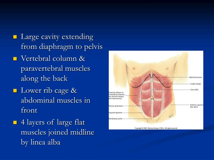 Large cavity extending from diaphragm to pelvis