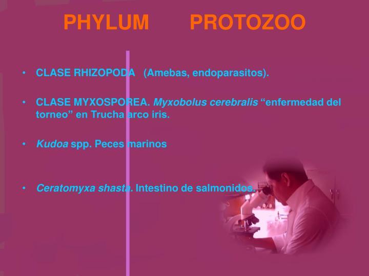 PHYLUM       PROTOZOO