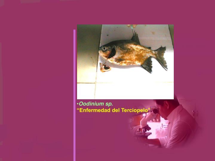 Oodinium sp