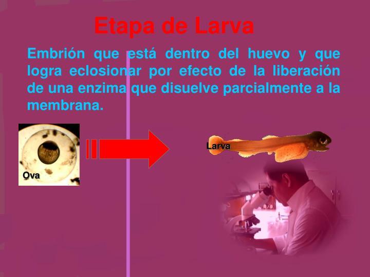 Etapa de Larva
