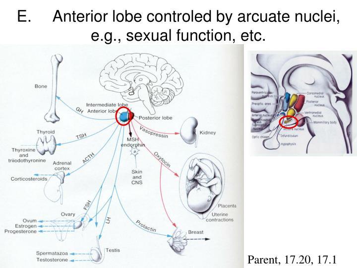 E.Anterior lobe controled by arcuate nuclei, e.g., sexual function, etc.