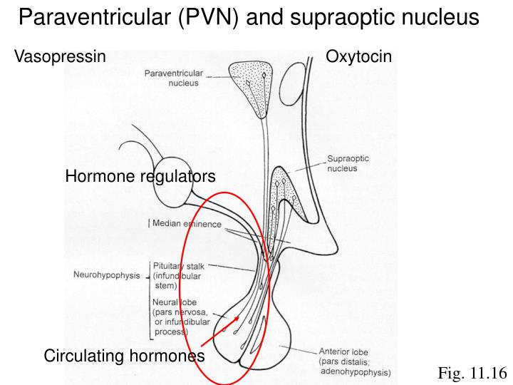 Paraventricular (PVN) and supraoptic nucleus