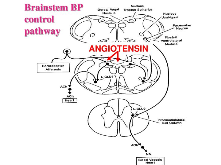 Brainstem BP control pathway