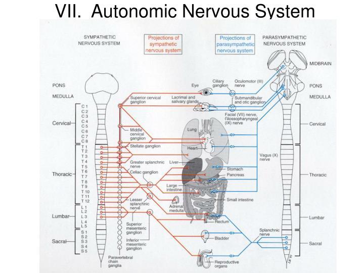 VII.Autonomic Nervous System