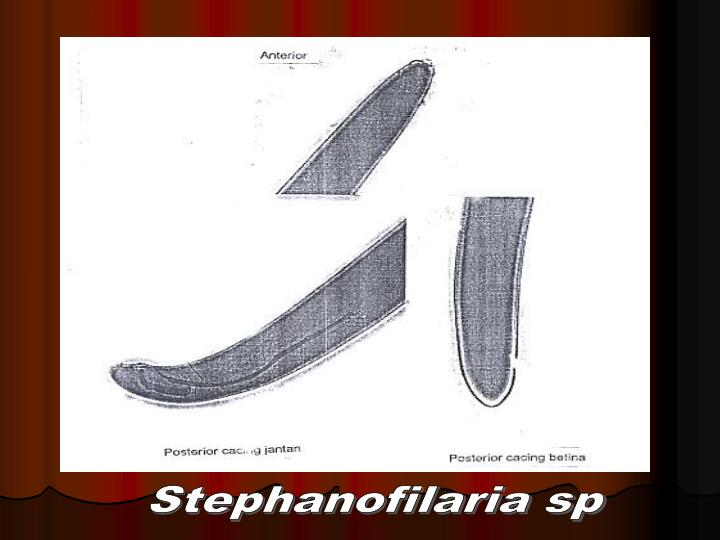 Stephanofilaria sp