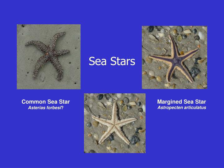 Margined Sea Star