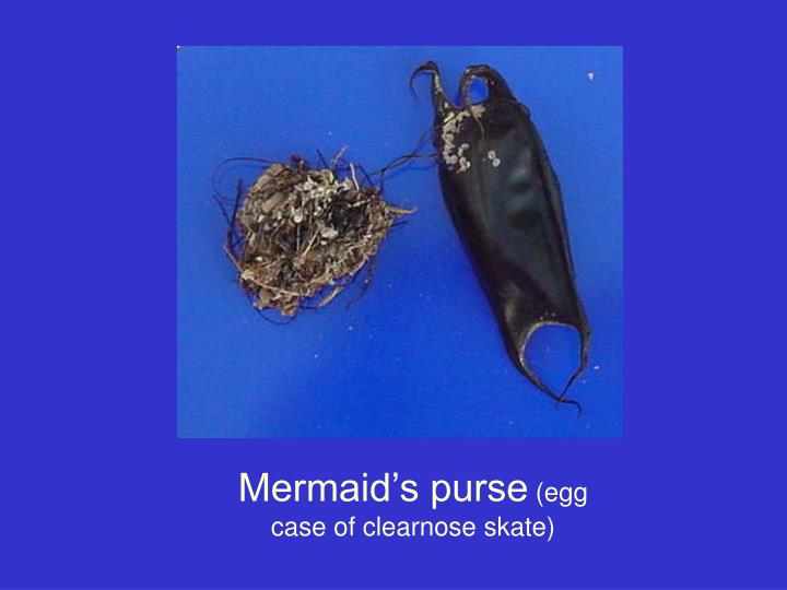 Mermaid's purse
