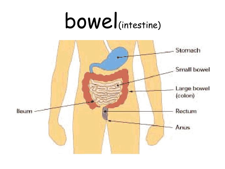 Bowel intestine