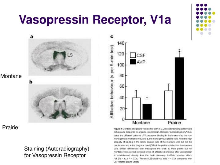 Vasopressin Receptor, V1a