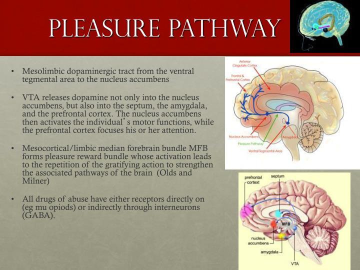 Pleasure pathway