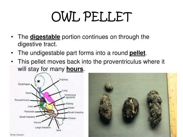 OWL PELLET
