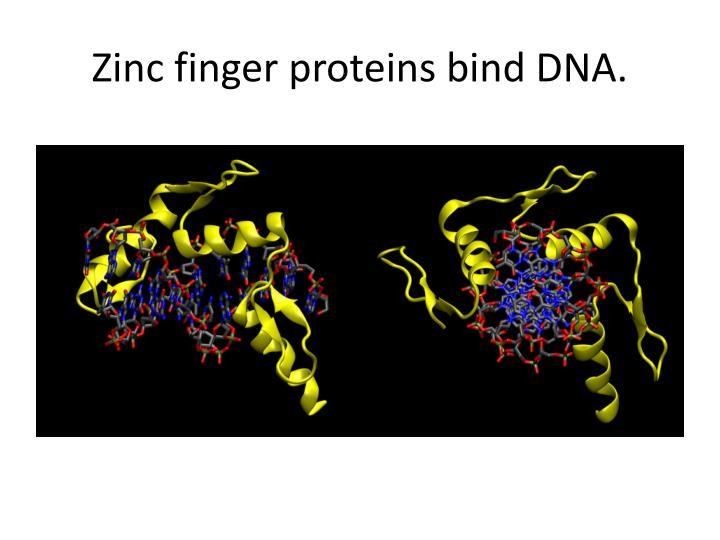 Zinc finger proteins bind DNA.