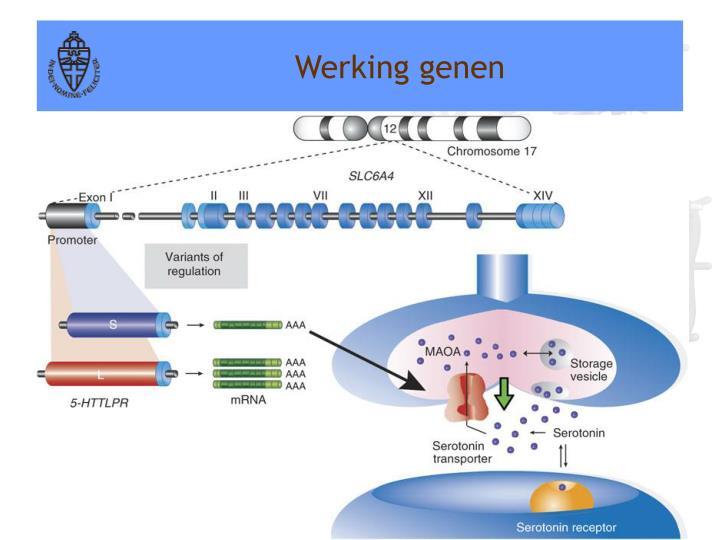 Werking genen