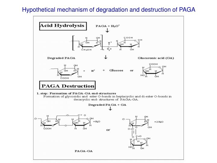 Hypothetical mechanism of degradation and destruction of PAGA