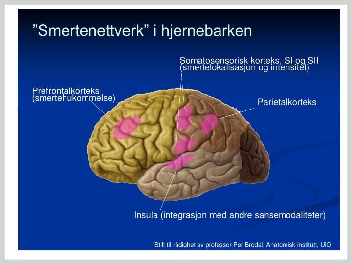 """""""Smertenettverk"""" i hjernebarken"""