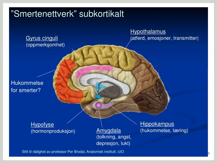 Stilt til rådighet av professor Per Brodal, Anatomisk institutt, UiO