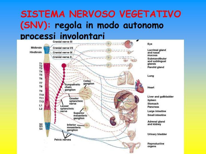 SISTEMA NERVOSO VEGETATIVO (SNV):