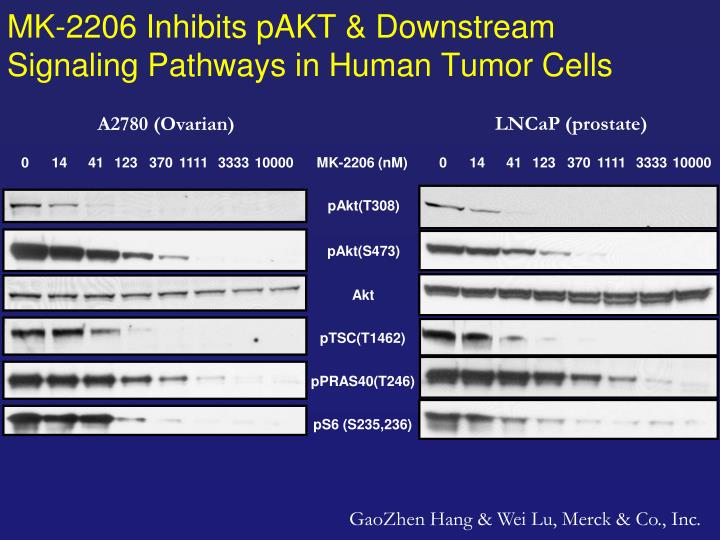 Mk 2206 inhibits pakt downstream signaling pathways in human tumor cells