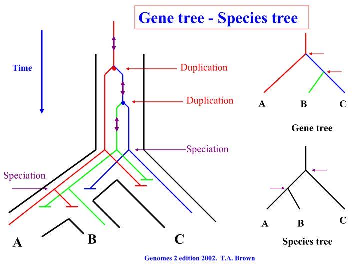 Gene tree - Species tree